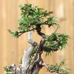 bonsai-th