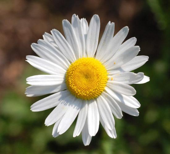 Φυτό πύρεθρος: Γιατί τσιμπάνε πάντα εμένα